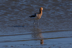 American Avocet (Recurvirostra americana), Coyote Point Recreation Area, San Mateo, California, United States of America