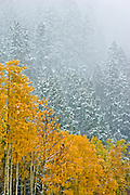 Falling snow in montane forest in late autumn<br /> Banff National Park<br /> Alberta<br /> Canada