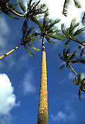 Coconut tree, Hawaii, USA<br />