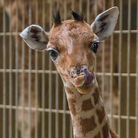Baby giraffe and baby antelope presented at Lyon Zoo