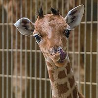 Baby giraffe and baby antelope presented at Lyon Zoo