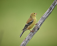 American Goldfinch. Image taken with a Nikon D5 camera and 600 mm f/4 VR telephoto lens (ISO 900, 600 mm, f/5.6, 1/1250 sec).