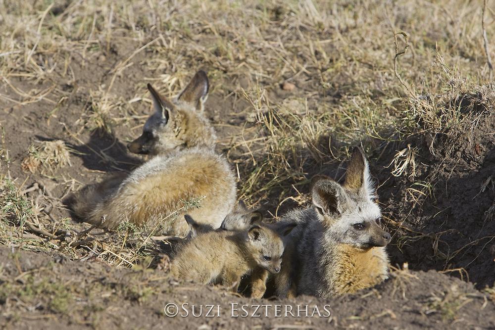 Bat-eared fox<br /> Otocyon megalotis<br /> Parents with 5 week old pup(s) at den<br /> Masai Mara Reserve, Kenya