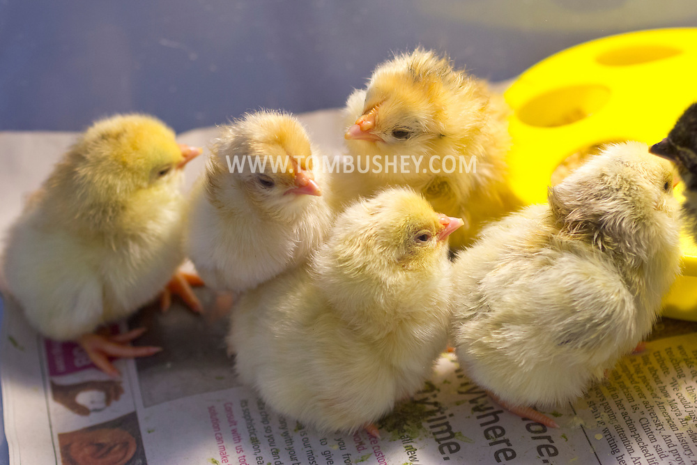 Cornwall, New York - Chicks hatched from chicken eggs in a first-grade classroom at Willow Avenue Elementary School on June 20, 2014. ©Tom Bushey / The Image Works