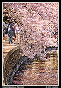 Blossoms dip over the water<br /> Cherry Blossom Festival - Washington, DC<br /> April 13, 2014