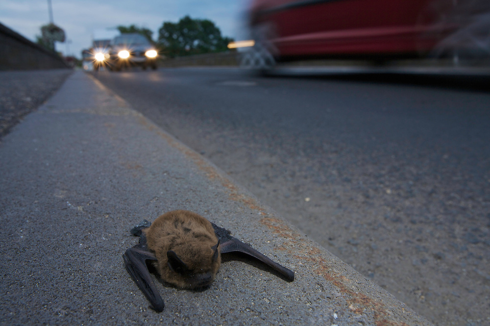 Dead Mouse-eared bat (Moytis spec.) and passing cars on the bridge of Pont-du-Chateau, Auvergne, France.