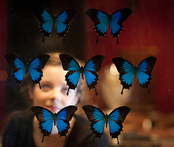 © Licensed to London News Pictures. 24/01/2013. London, UK. A Bonham's employee views an antique fire screen containing a display of blue ulysses swallowtail butterflies at the press view for the 'Bonham's Gentleman's Library Sale' in Knightsbridge, London, today (24/01/13). The sale, made up of weird, wonderful, rare and practical items, - all fit for a gentleman's library - is set to take place at 10am on the 24th of January at the auction house's Knightsbridge premises. Photo credit: Matt Cetti-Roberts/LNP