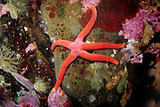 Blood star sea star (Henricia leviuscula). Oregon coast.