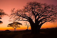 Baobab tree at sunset, Tarangire National Park, Tanzania