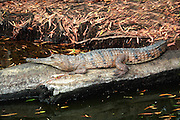 freshwater (johnstone's) crocodile by freshwater billabong. north queensland
