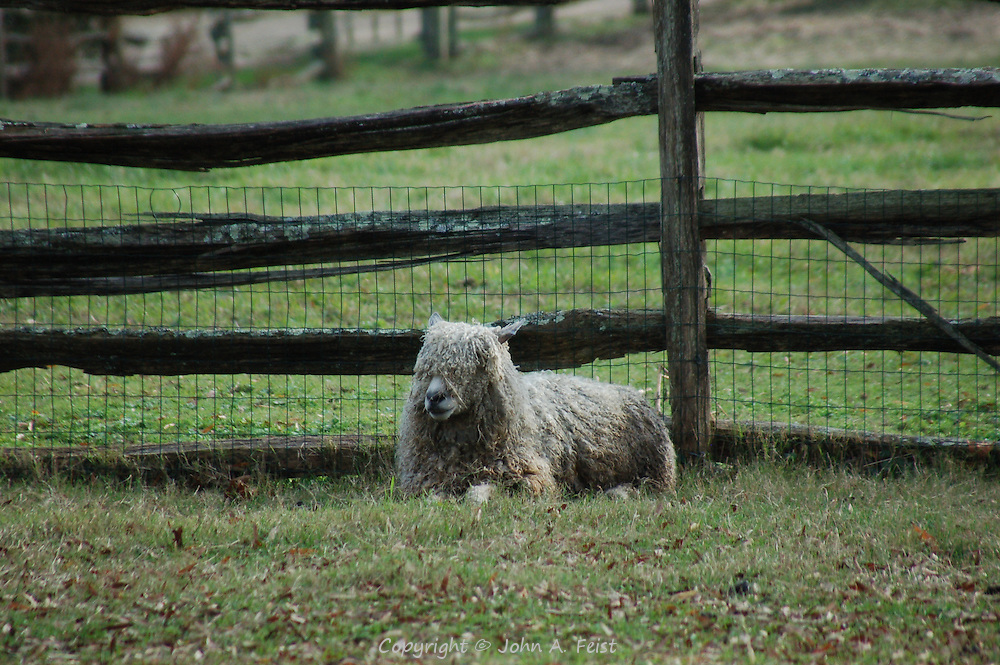 A sheep at one of the farms making up the restoration at Colonial Williamsburg, Williamsburg, VA