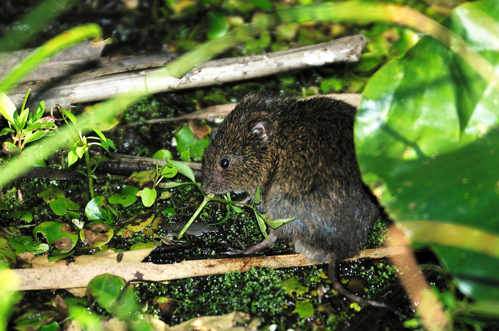 Rat,Sanctuary Pond,Point Pelee National Park, Leamington,Ontario,Canada