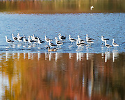 American Avocets walking through the water of fall reflection at Bombay Hook NWR