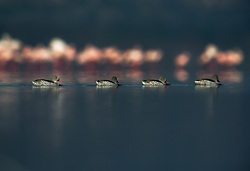 Cape teal (Anas capensis) in Lake Nakuru