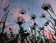 Meadow full of daisies gets illuminated by late sunset colors and moonlight.