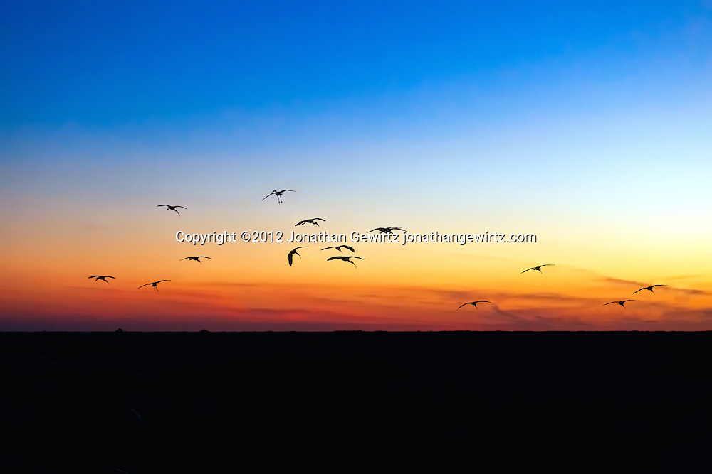 Silhouettes of a flock of American White Ibis (Eudocimus albus) as they arrive at their evening roosts in the Shark Valley section of Everglades National Park, Florida. WATERMARKS WILL NOT APPEAR ON PRINTS OR LICENSED IMAGES.<br />