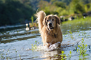 Dog (golden retriever) splashing through water in the South Fork American River, near Lotus, California
