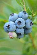 """""""Blue Crop"""" variety"""