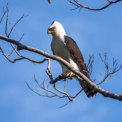 Águias, gaviões, Falcões, caracará - Accipitriformes e Falconiformes / Eagles, hawks