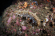 Stichopus molis (Sea cucumber)
