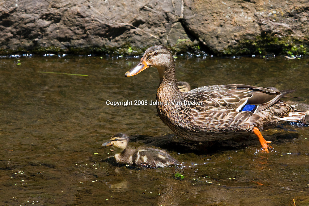 Mallard, Anas platyrhynchos, female duck and duckling fledgling, fledglings