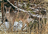 Deer at Edith Reid Nature Conservancy, Rye, New York