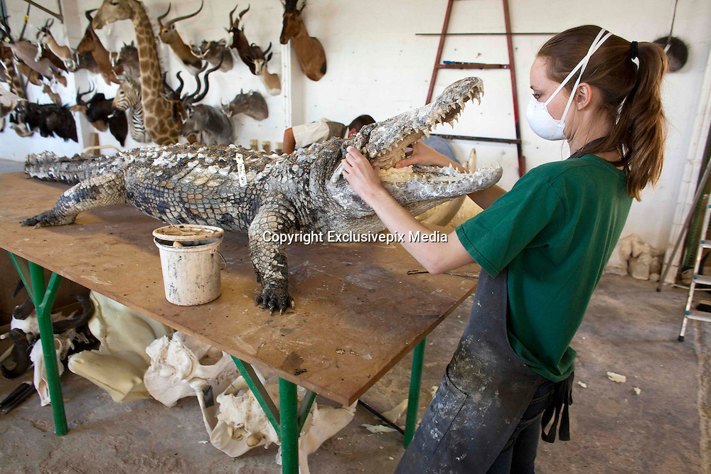legal Taxidermy In Namibian<br /> <br /> If you who want to take your self-shot elephant, leopard or giraffe as a trophy  home, you can visit the white Namibian Louw Mel, just outside Windhoek. He and his 45 professional support staff  will stuff your elephant for around EUR 38,000. But not only an elephant, also a giraffe (8500 euros), leopard (1800 euros), rhino (14,000 euros) or alligator (328 euro/per meter) Louw and his men transforms in a true work of art. At the door of Louw's office hangs a price list on which the 35 most popular species are listed. Taxidermy is legal in Namibia and very popular among hunters. In his workshop, hundreds of stuffed animals waiting to be shipped to the hunters who have shot them. The hunters are mostly white foreigners. Every week dozens of hunters, mainly wealthy Germans and Americans dressed in khaki safari outfit visit one of the many private nature reserves owned by white farmers for big game hunting. An average private property is as large as 5000 ha, where many wild animals live. A hunter must obtain permission (cost: 10 euros) from the Namibian Nature conservation and there is an official quota for the number of animals per species that can be killed. &quot;But in practice, things are not so strict' a Namibian hunting guide tells me. &quot;If you have enough money and you pay the owner of the private nature park, you can usually shoot what you want. So apart from the costs of stuffing the animal, the hunter must also pay the landowner for allowing to shoot  wildlife. For permission to kill an elephant is around 20,000 euros, for an leopard 7000 euros, a lion 15.000 euros and an antilope 1500 euros. So, in order to get that self-shot elephant in your living room in Berlin, it will cost you around 60,000 euros (38,000 euros for stuffing, 20,000 euros for shooting and 2000 euros for transport to germany). Once a hunter has killed an animal, he brings it to a taxidermist such as Louw for the animal to mount. Louw stuffs arou