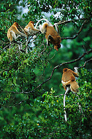 A female proboscis monkey, Nasalis larvatus, mother of two, squawks at another mother proboscis monkey invading their choice sleeping spot..Lower Kinabatangan Wildlife Sanctuary, Borneo Island.