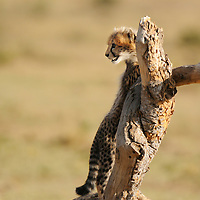 3-month old Cheetah cub (Acinonyx jubatus) playing, Masai Mara, Kenya