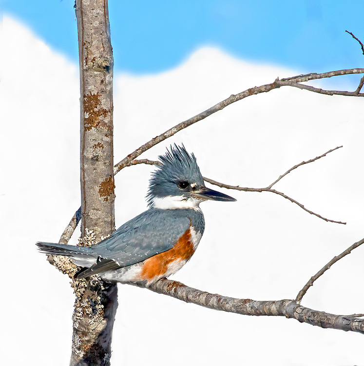 Alaska. A Belted Kingfisher (Megaceryle torquata) resting on a branch with a snowy, mountain backdrop, Seward.