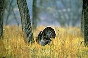 Male turkey displaying in spring. Theodore Roosevelt National Park, North Dakota.