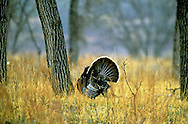 Male turkey displaying in spring. Theodore Roosevelt National Park, North Dakota.