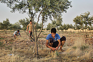 04/07/2015 -- Dibaga-Makhmur-, Iraq -- Young displaced men from Jarallah village work in the fields in the evening at the chicken farm in Dibaga. In this season they mainly collect potatoes that will be sold at the market in Dibaga.