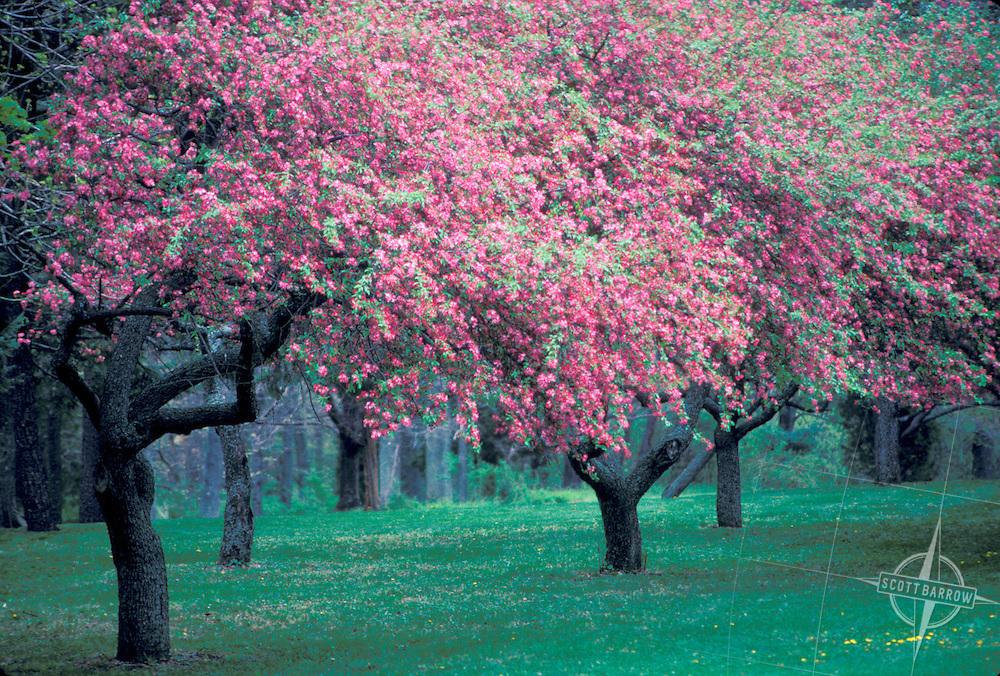 Cherry blossom trees in full spring bloom.