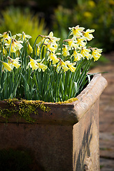 Narcissus 'W.P. Milner' in a terracotta container at Glebe Cottage