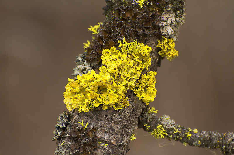 This striking yellow fungus seen here in Eastern Washington near the Idaho border  is a type of lichenized fungus found growing on trees. The bright yellow color comes from pinastric and vulpinic acids - two substances only found in lichens that are believed to repel the insects and other wildlife that might eat it. According to Swedish peasant folklore, this lichen will kill foxes, but is completely safe for wolves and dogs.