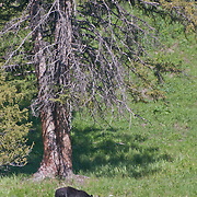American black bear (Ursus americanus) in Yellowstone National Park, Wyoming.  Photo by William Byrne Drumm.