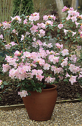 Rhododendron Cilpinense in a pot