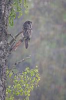Great grey owl (Strix nebulosa) in summer downpour, Bergslagen, Sweden.