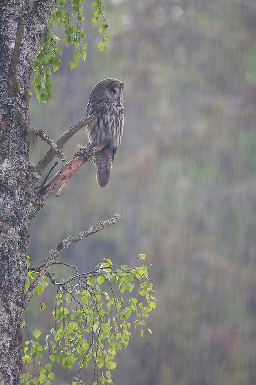 Great grey owl (Strix nebulosa) in summer downpour, Bergslagen, Sweden.