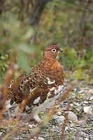 A male ptarmigan whose feathers are beginning to change colors for the fall.