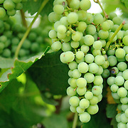 grapes at Summit Estate Winery