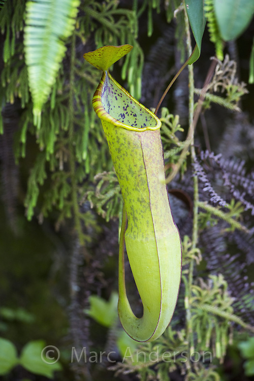 Pitcher Plant (Nepenthes gracilis), Fraser's Hill, Malaysia