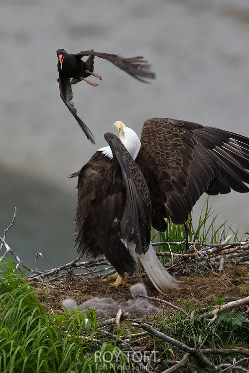 American bald eagle protecting its nest from a black oystercatcher, in flight.