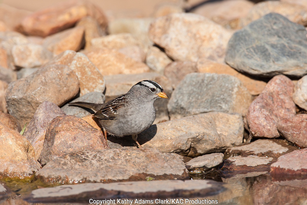 White-crowned sparrow, Zonotrichia leucophrys, drinking, southern Arizona, spring.