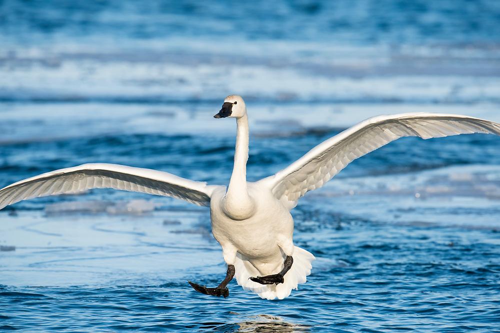 Tundra Swan; Cygnus columbianus, Detroit River, Ontario
