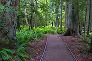 Sword Ferns (Polystichum munitum) line a walking path at Cathedral Grove in Macmillan Provincial Park near Port Alberni, British Columbia, Canada