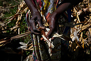 Corn is harvested in the Mama Rita Rose garden in Chiga village in Kisumu, Kenya.  It is the staple of diets in Chiga, and the neediest of families rely on the garden to provide them with corn.