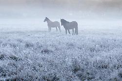 Brokenhurst, Hampshire, UK. November 19th 2016. Horses in the frost and mist near Brockenhurst, in the New Forest, Hampshire.