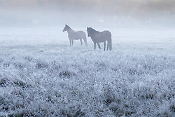 Brokenhurst, Hampshire, UK. November 19th 2016. Horses in the frost and mist near Brockenhurst, in the New Forest, Hampshire.
